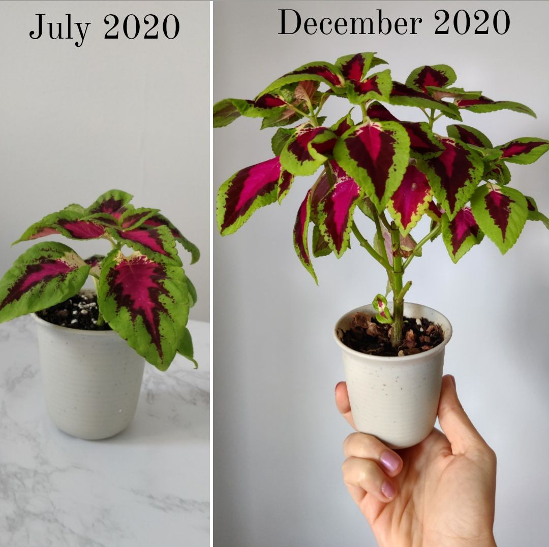 A before and after of a coleus from @Shelleys.indoor.jungle