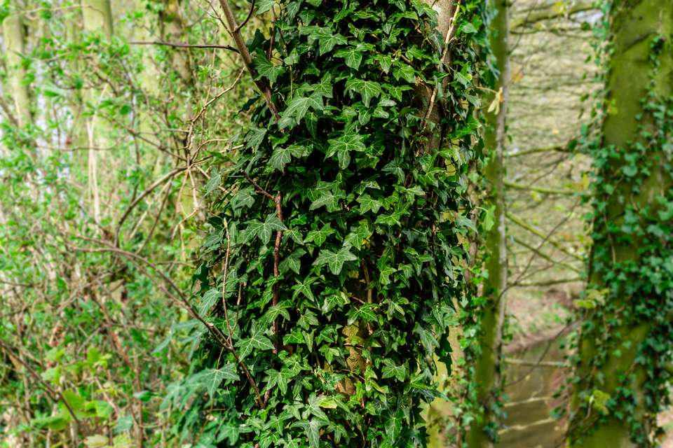 english ivy wrapped around a tree
