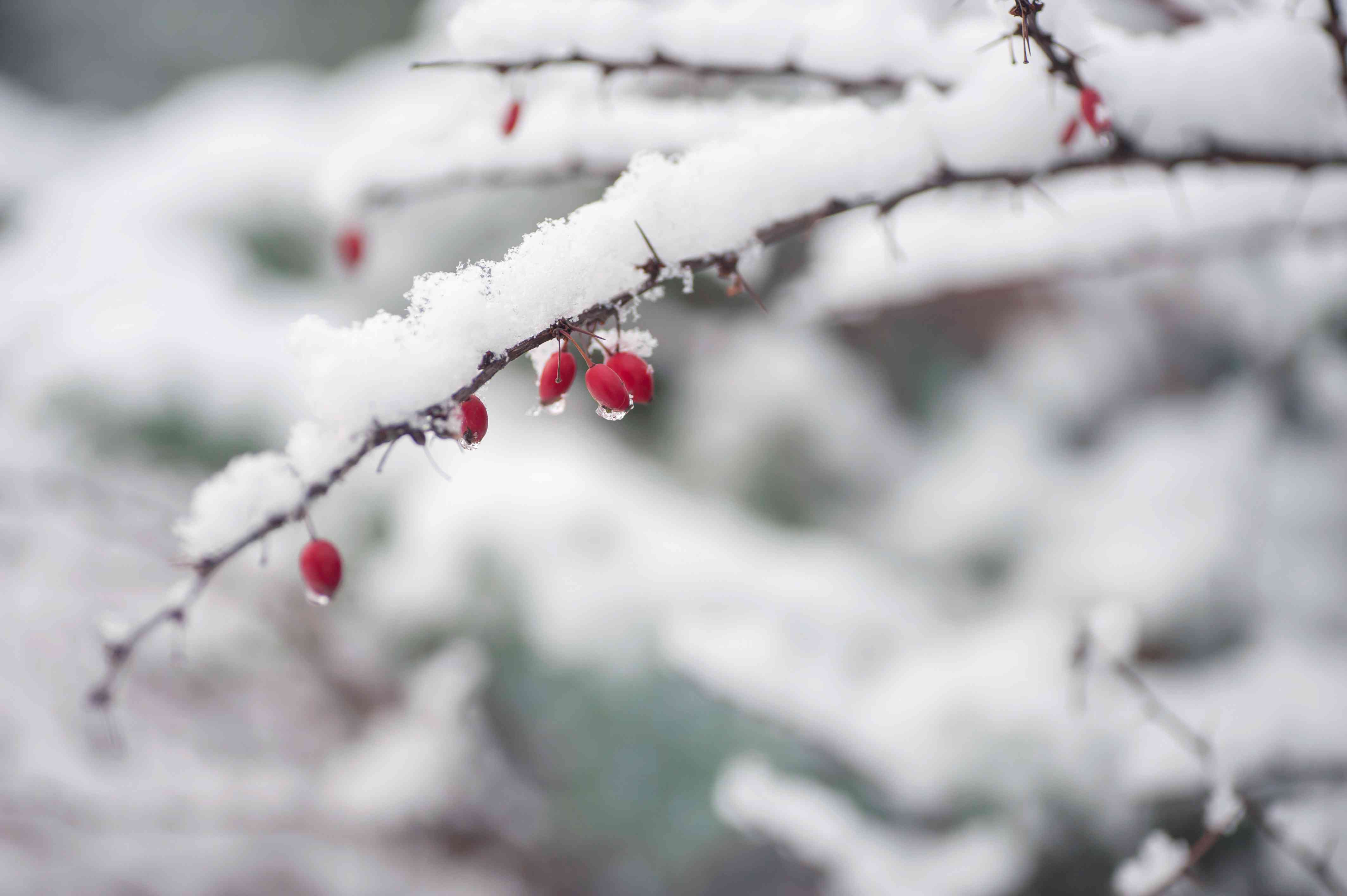 Japanese barberry in winter