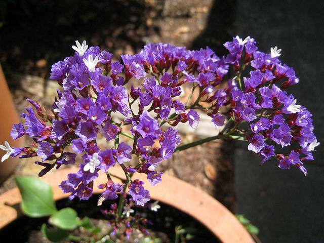 10 Best Mediterranean Flowers