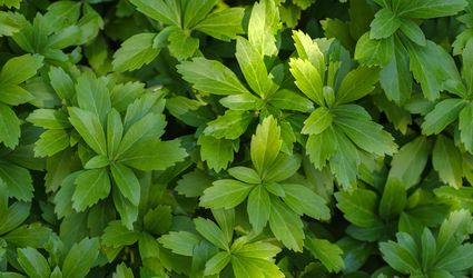 Japanese pachysandra deer resistant ground cover plant closeup