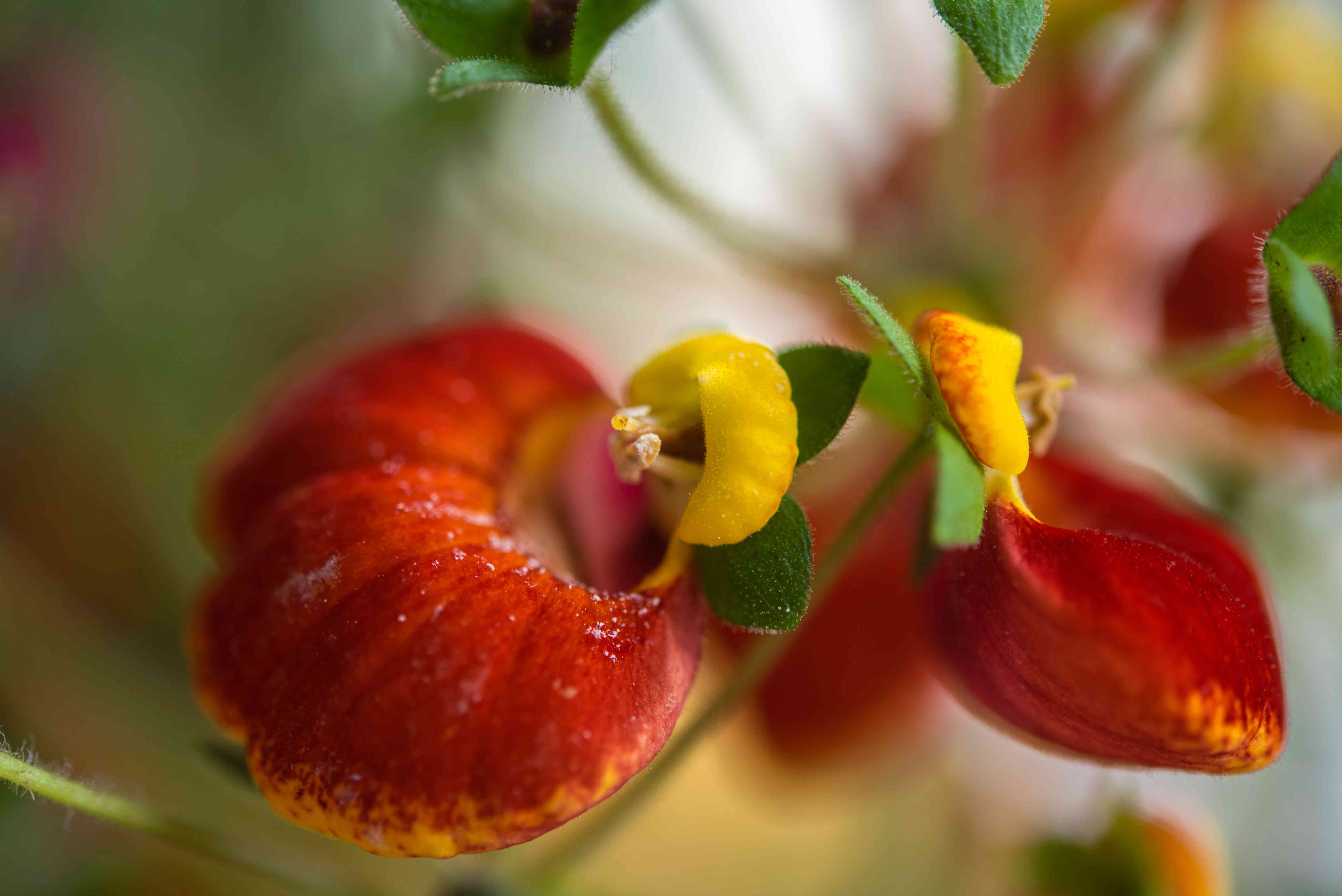 Calceolaria plant with red and yellow slipper-like flowers and vine closeup