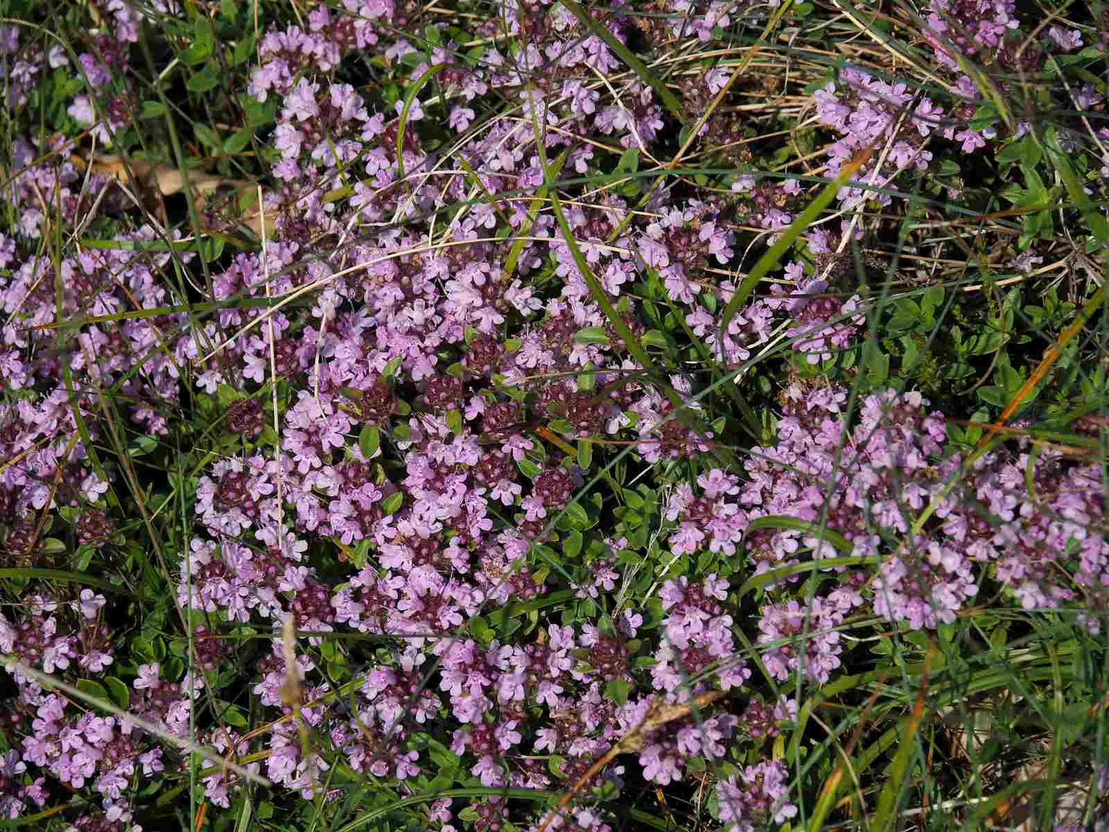 Thyme plants in flower