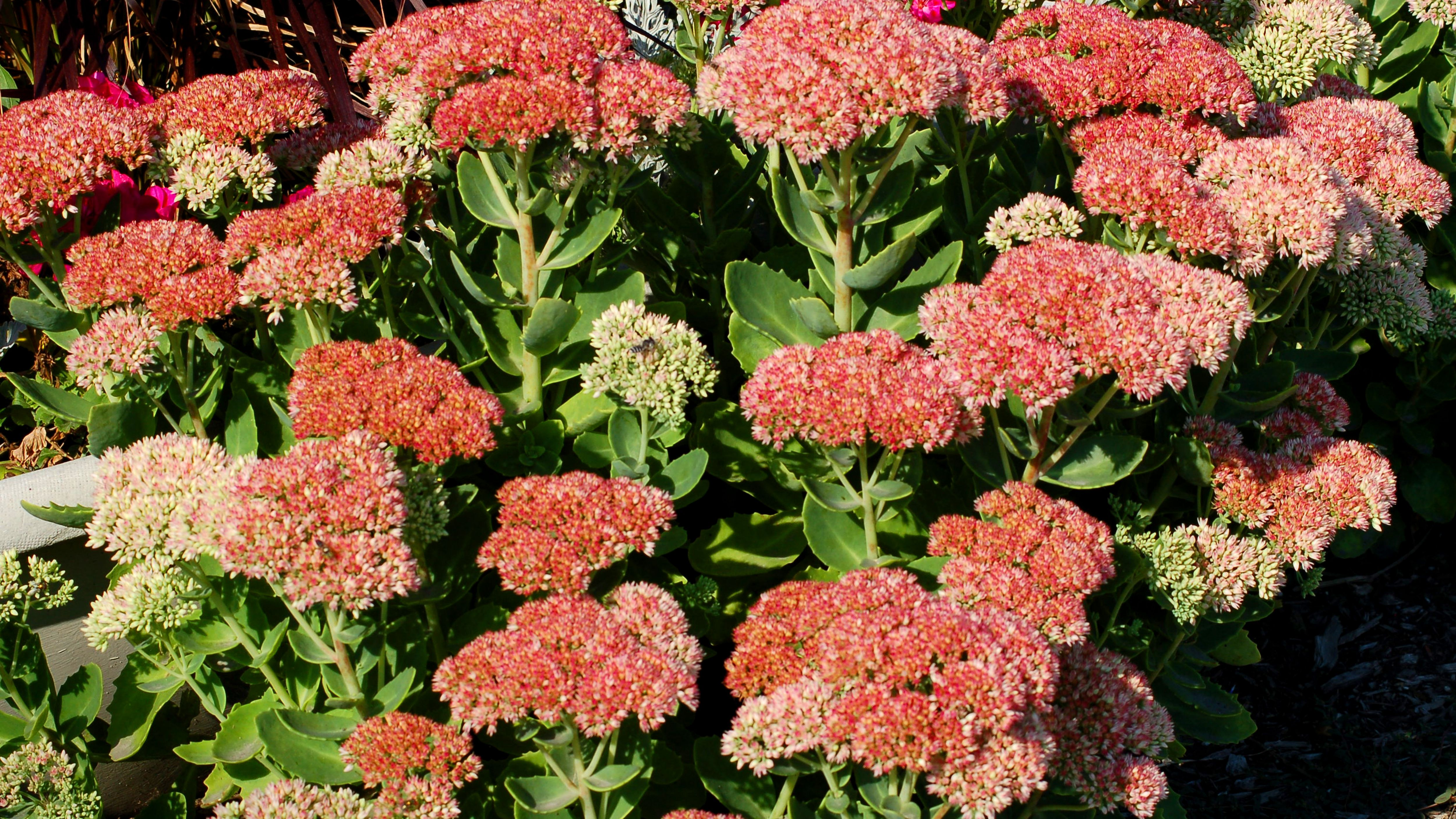 Autumn Joy Stonecrop Sedum Plant Profile