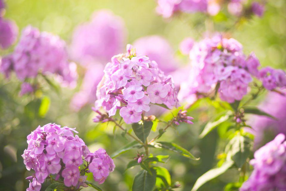 Flores Phlox Púrpuras