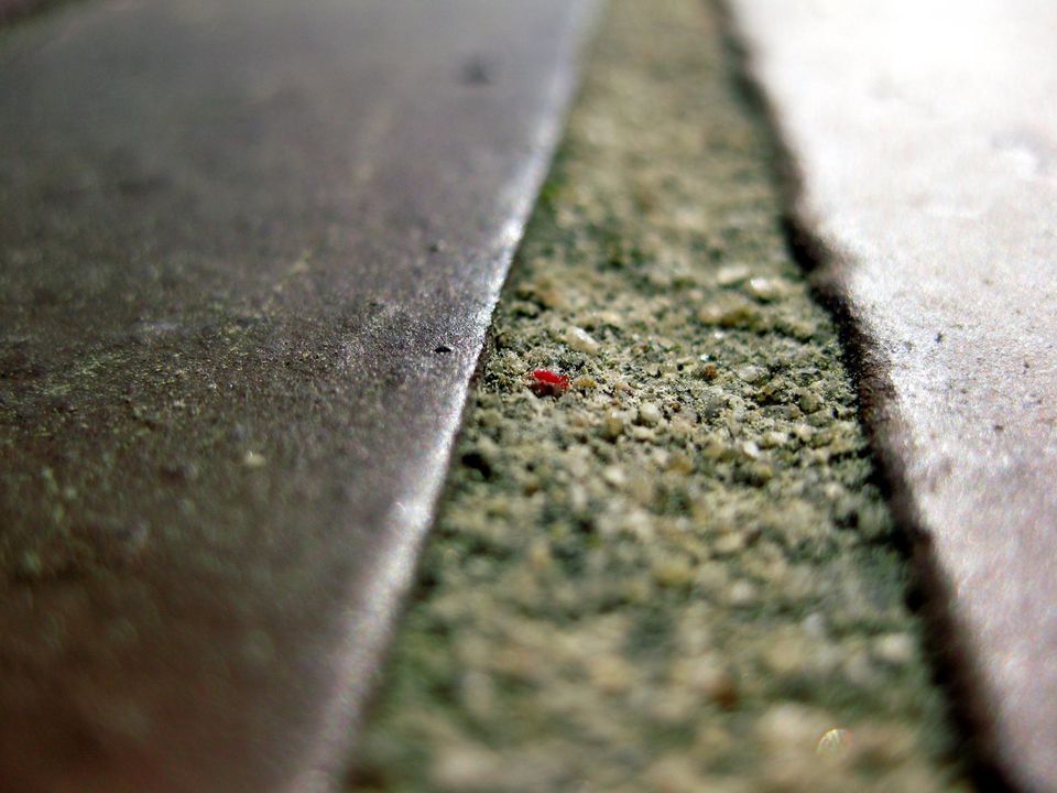 A single chigger on the ground