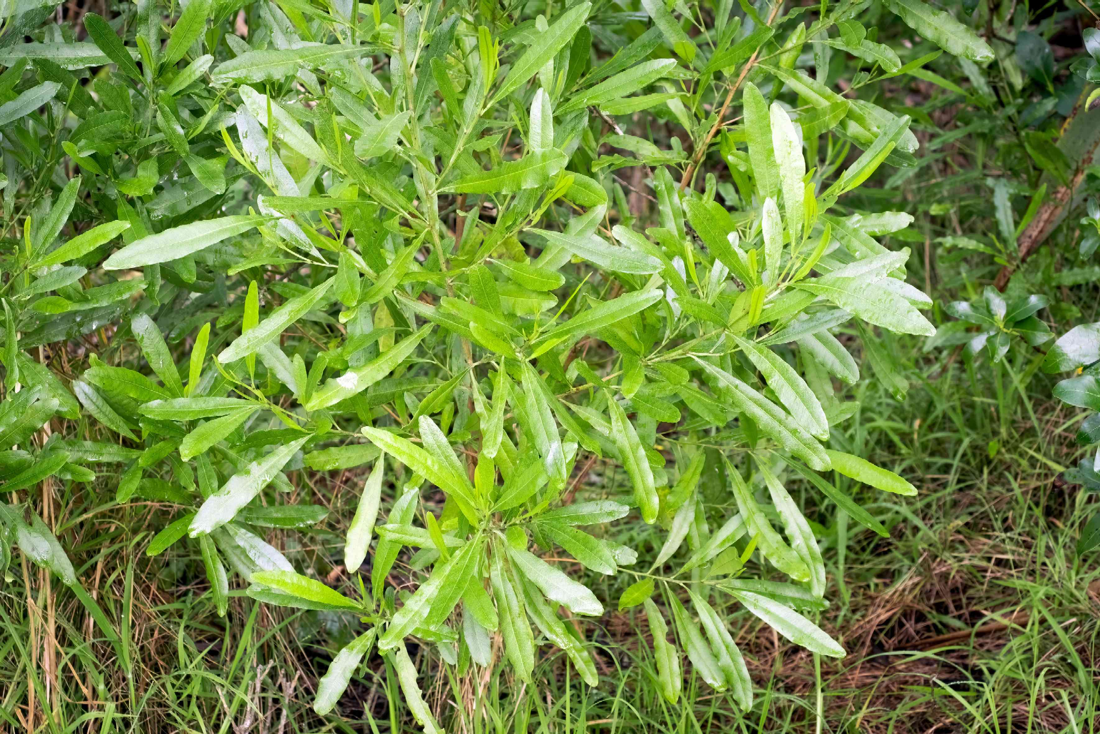 Hopbush shrub with shiny and narrow leaves surrounded by grass