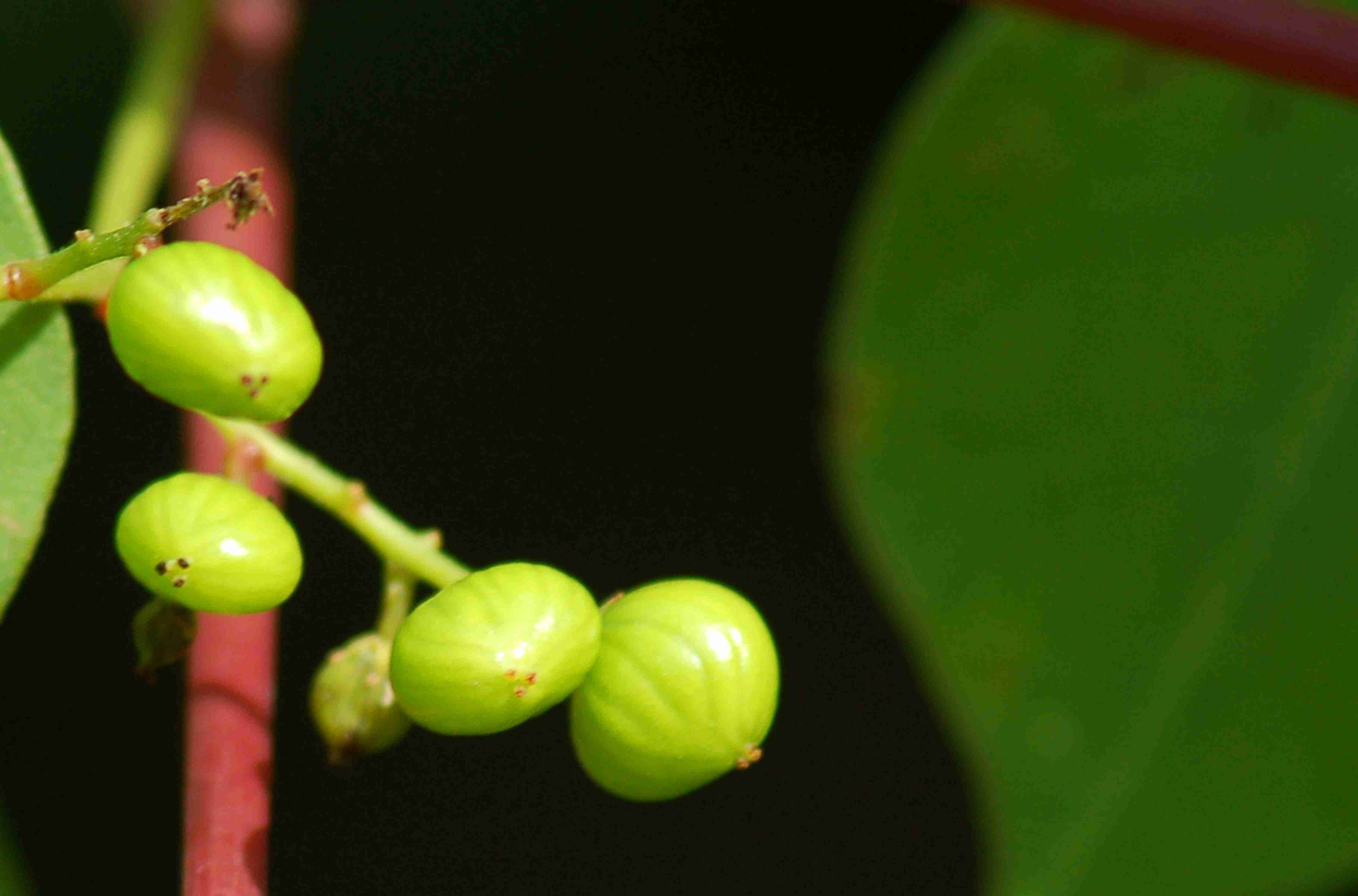 The oddly-shaped berries of poison sumac.