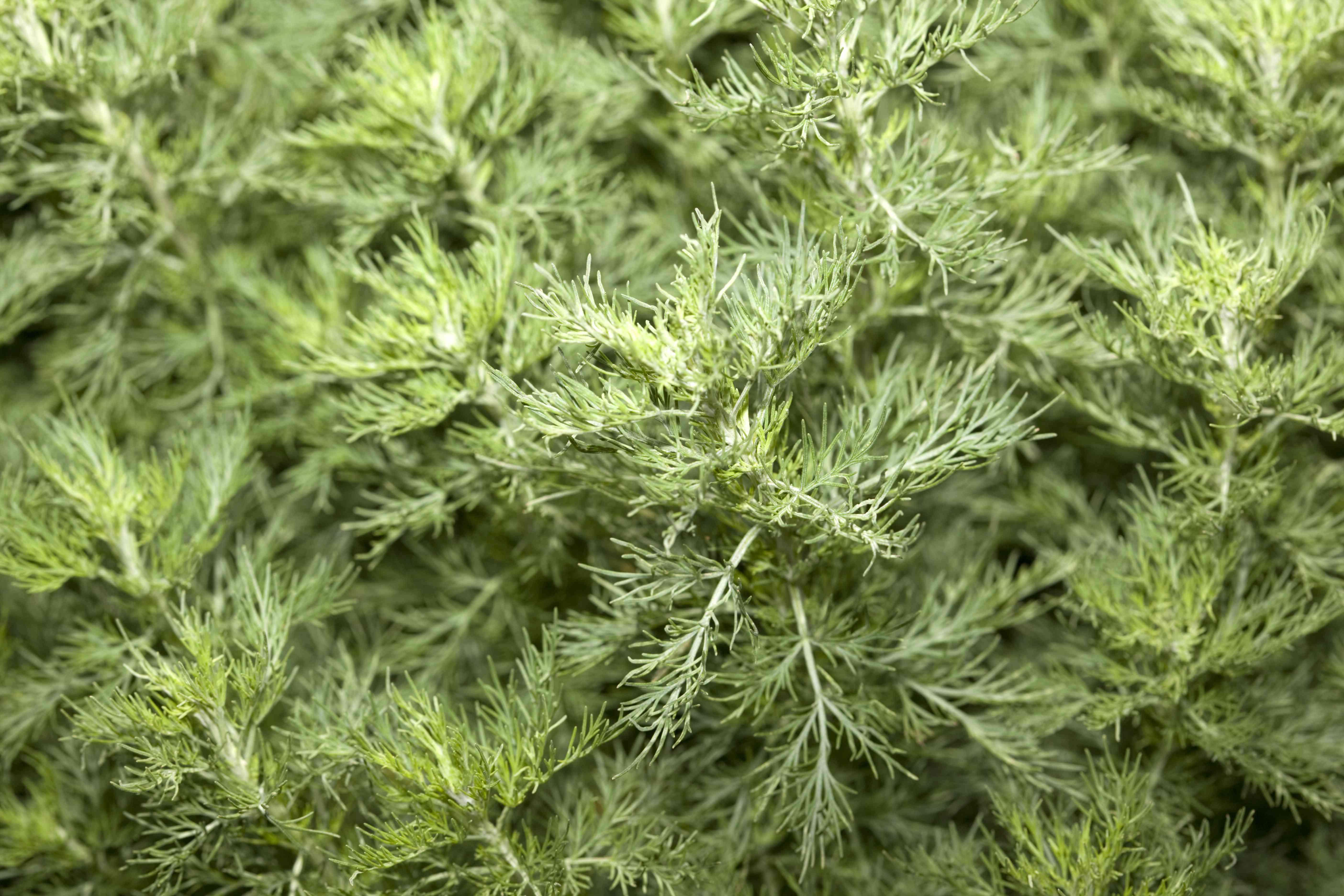 Southernwood (Artemisia abrotanum)