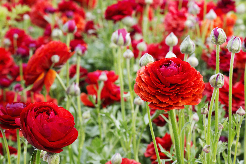 Red ranunculus flowers growing in a flowerbed.