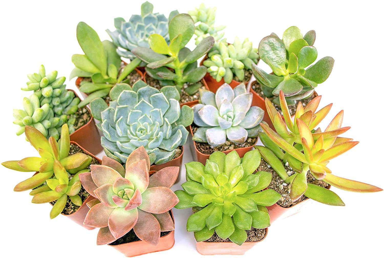 Altman Plants Live Succulents (12-Pack)