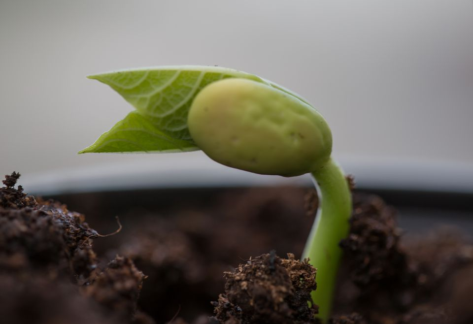 Borlotto bean seedling