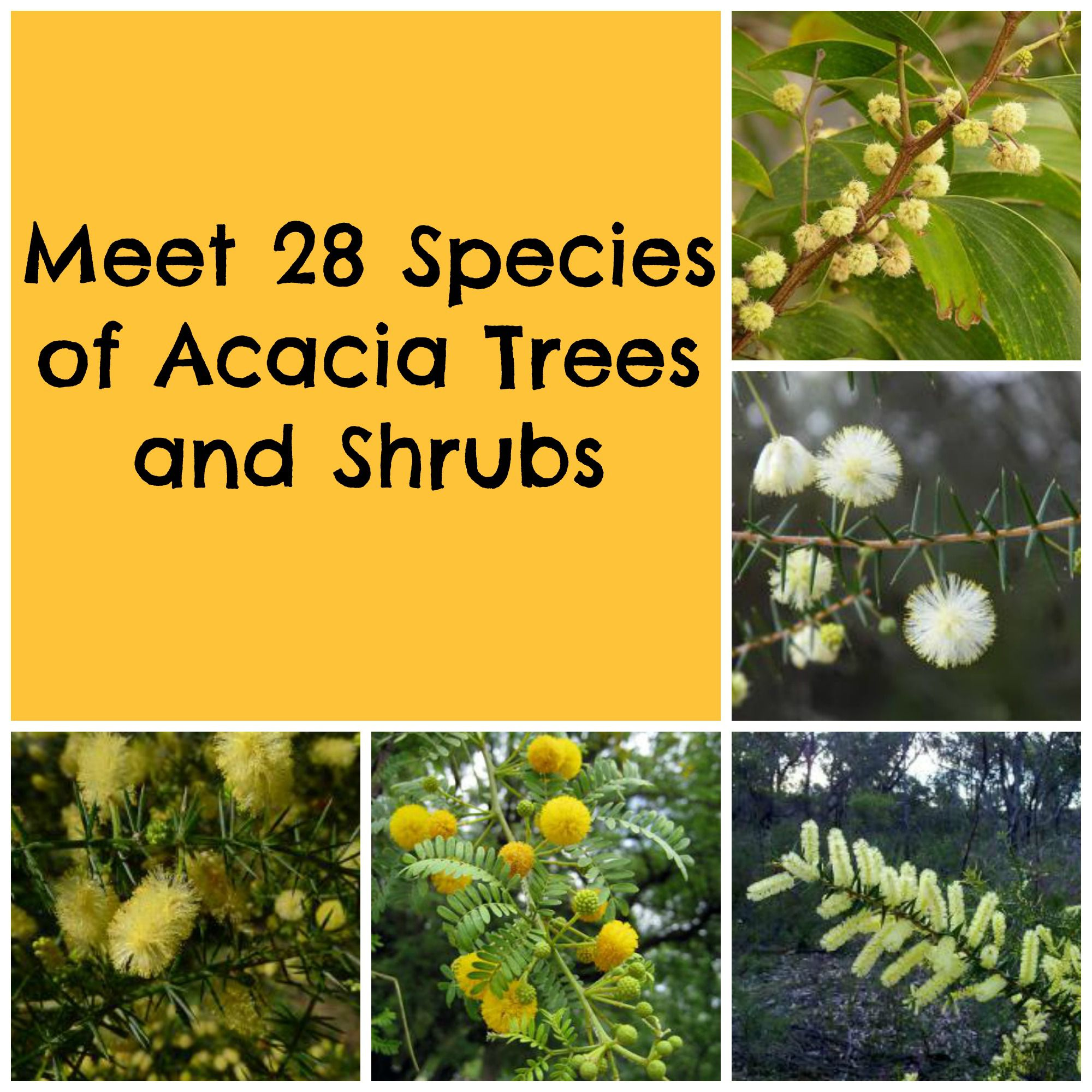 Acacia Trees And Shrubs From Around The World