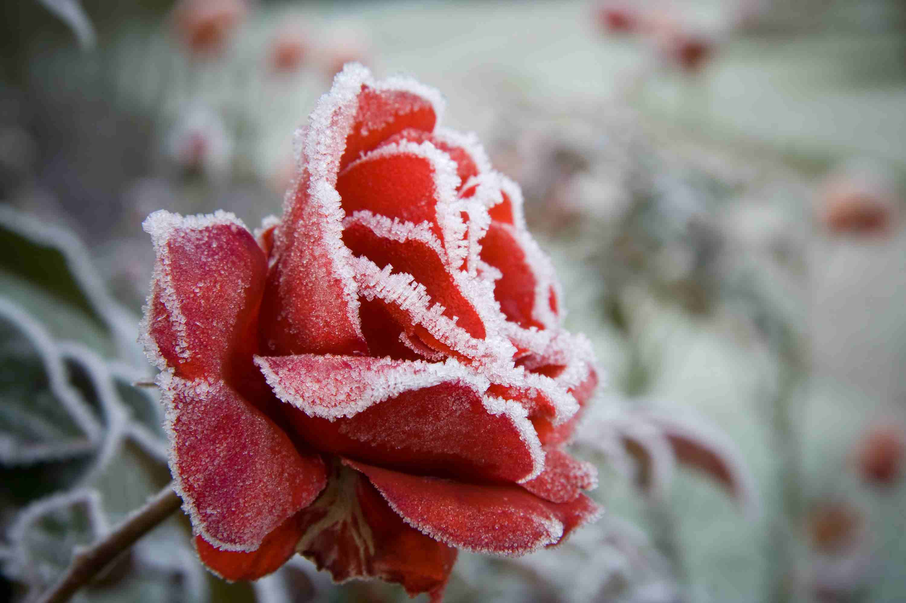 A frosted red rose