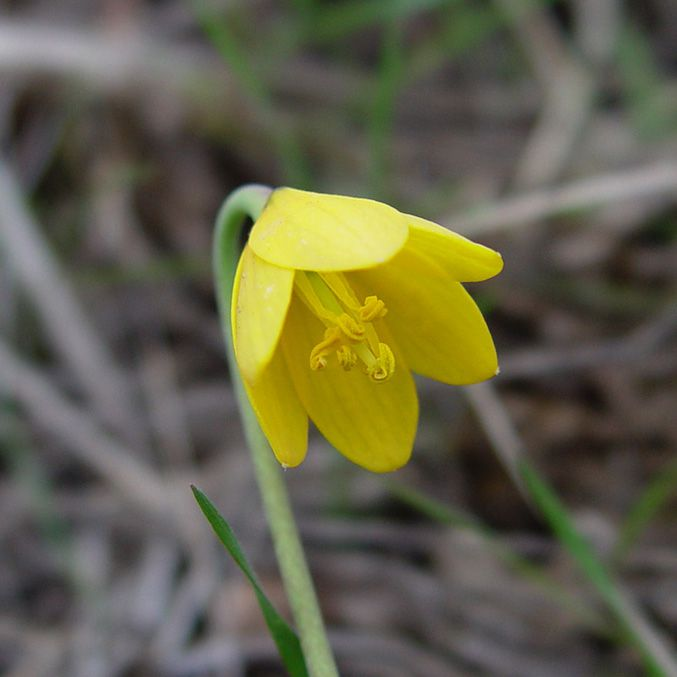 Yellow nodding bell-shaped flower on green stem.