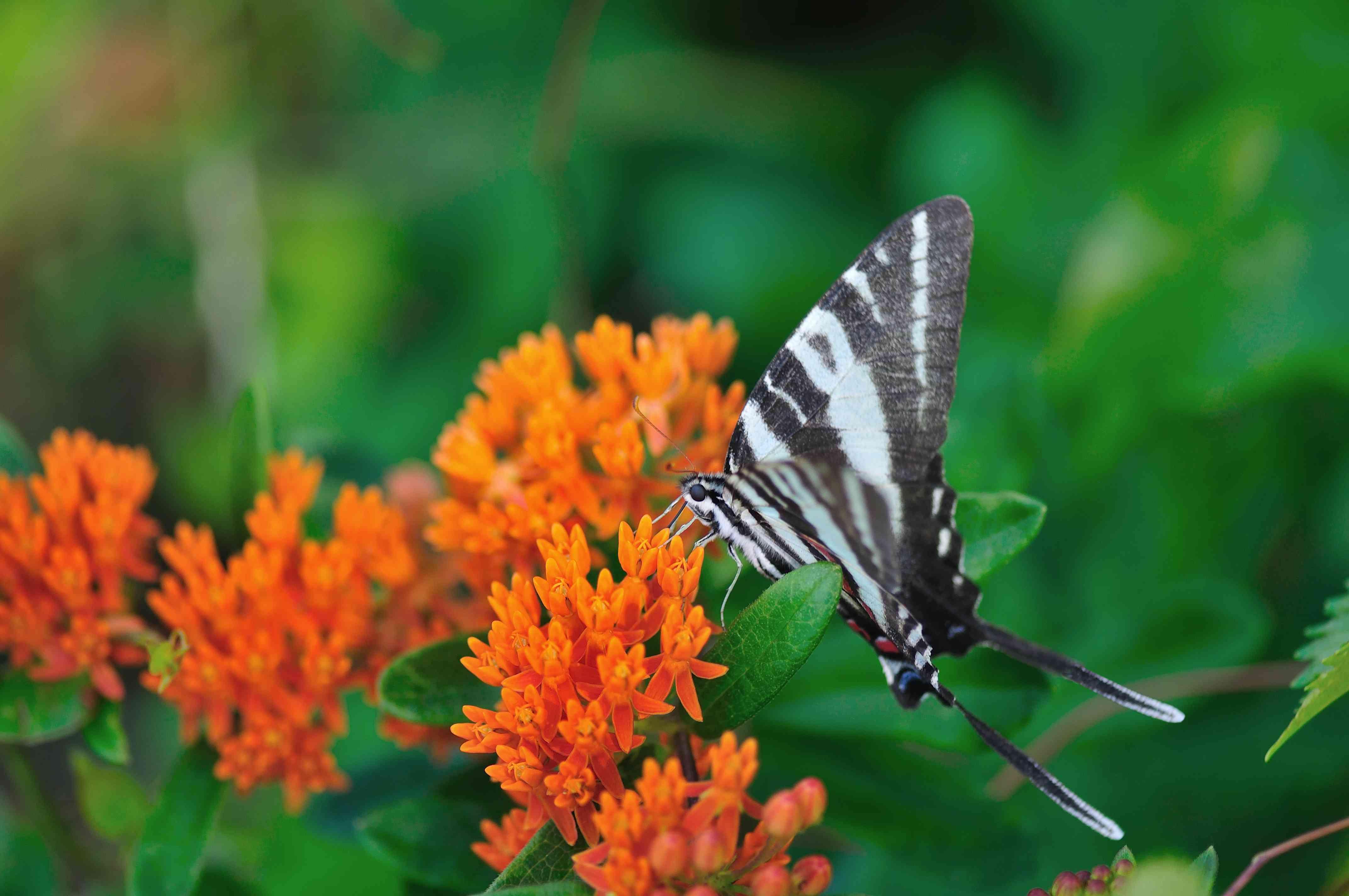 Zebra Swallowtail Feeding on Butterfly Weed