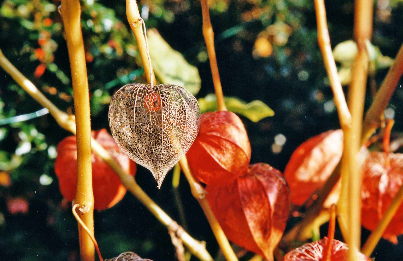 A close-up of Chinese lantern plants