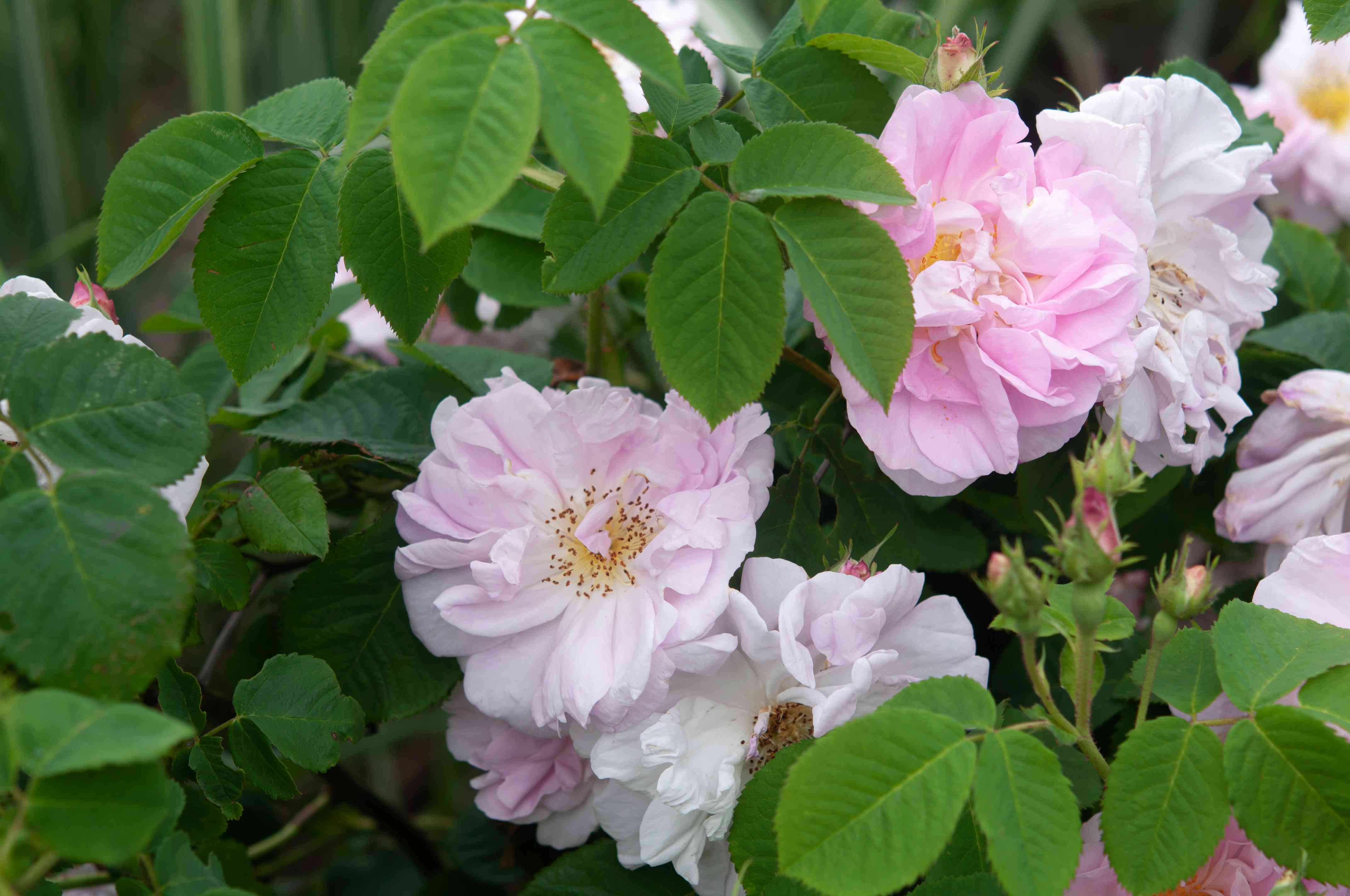 Damask roses in between leaves with white-pink flowers