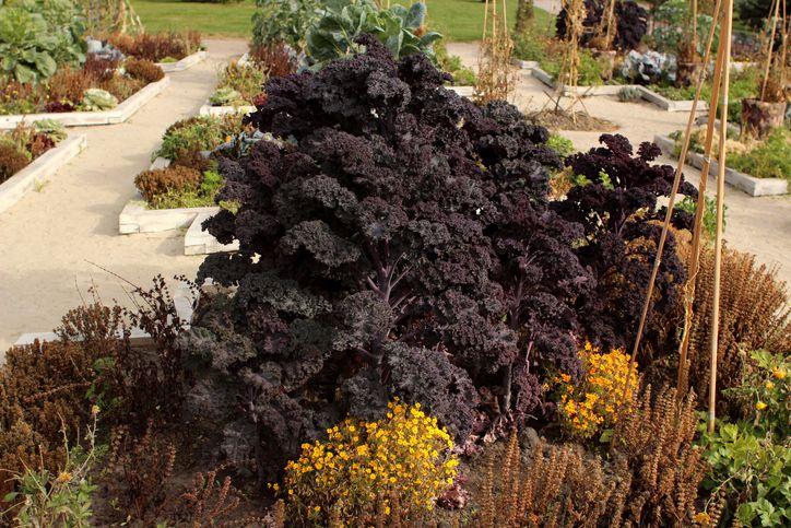 'Redbor' kale