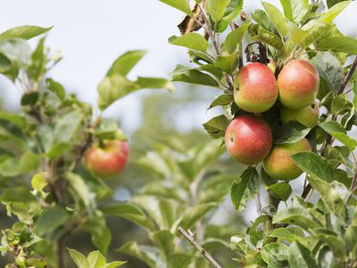 How to Grow Beautiful Guava Plants Indoors