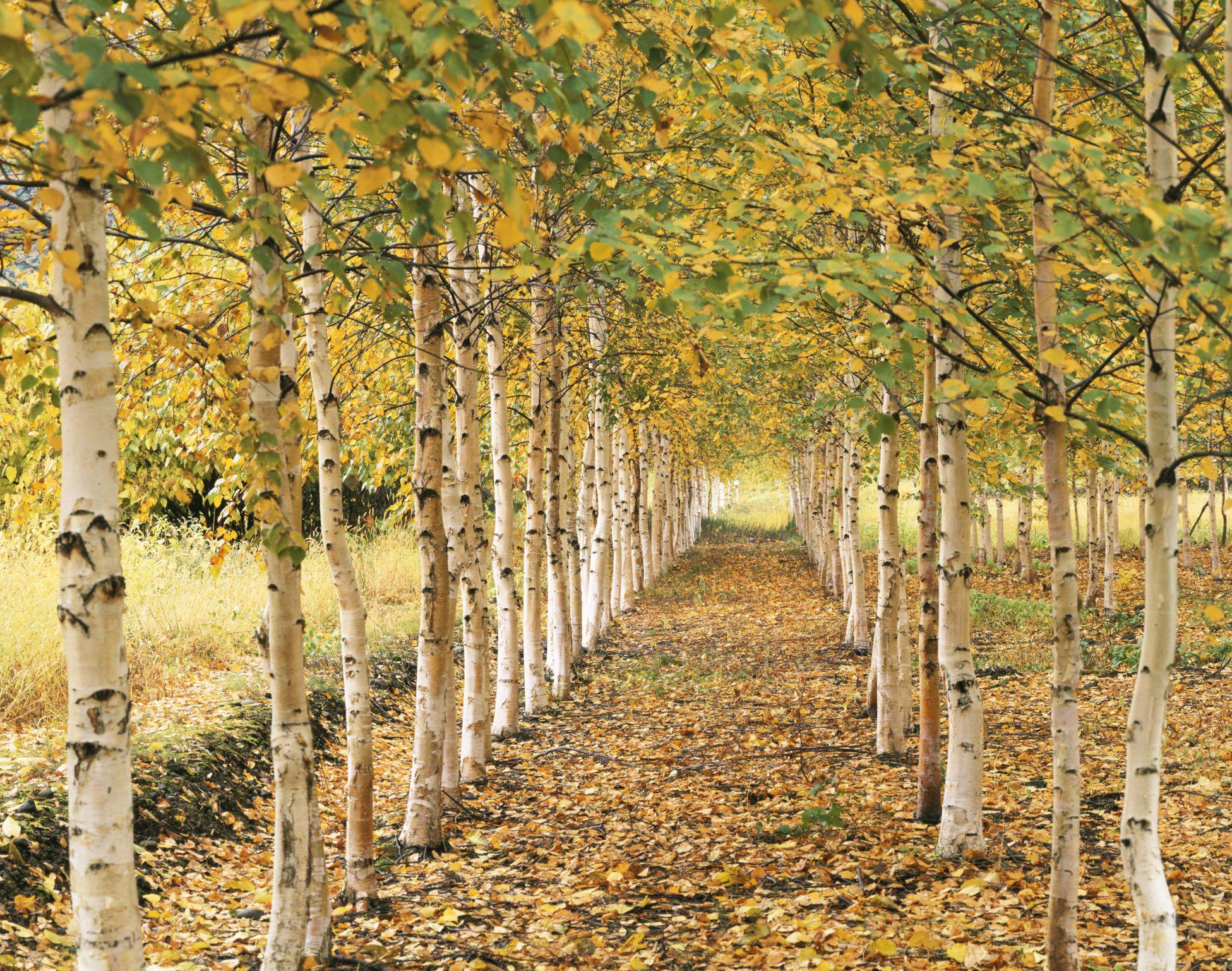 meet 12 species of birch trees betula genus