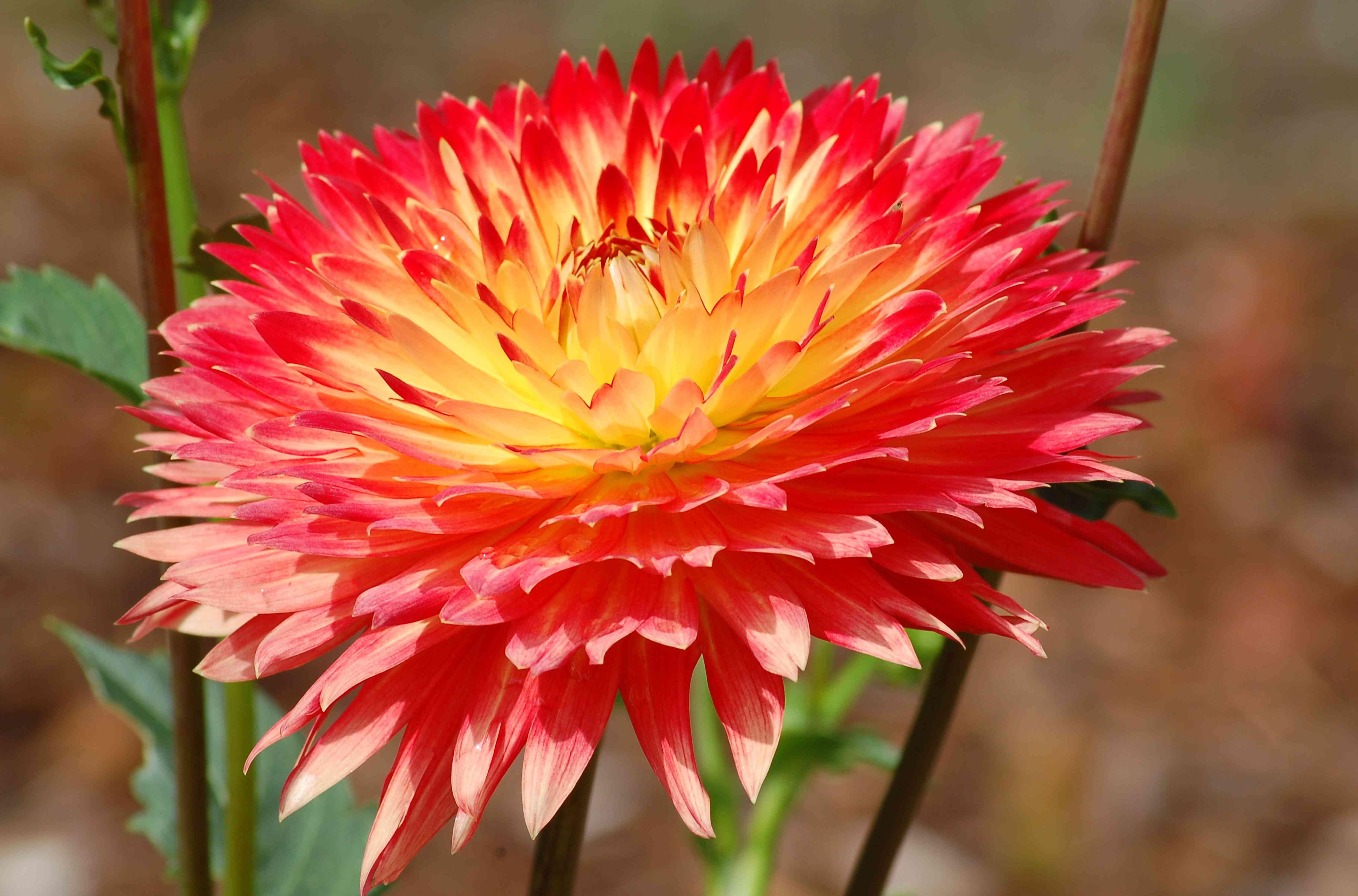 Bi-colored dahlia flower.