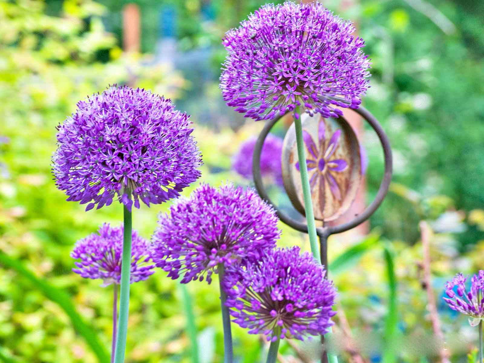 A closeup of some Allium