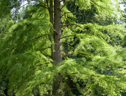 Bald cypress tree with jade needle-like leaves in forest
