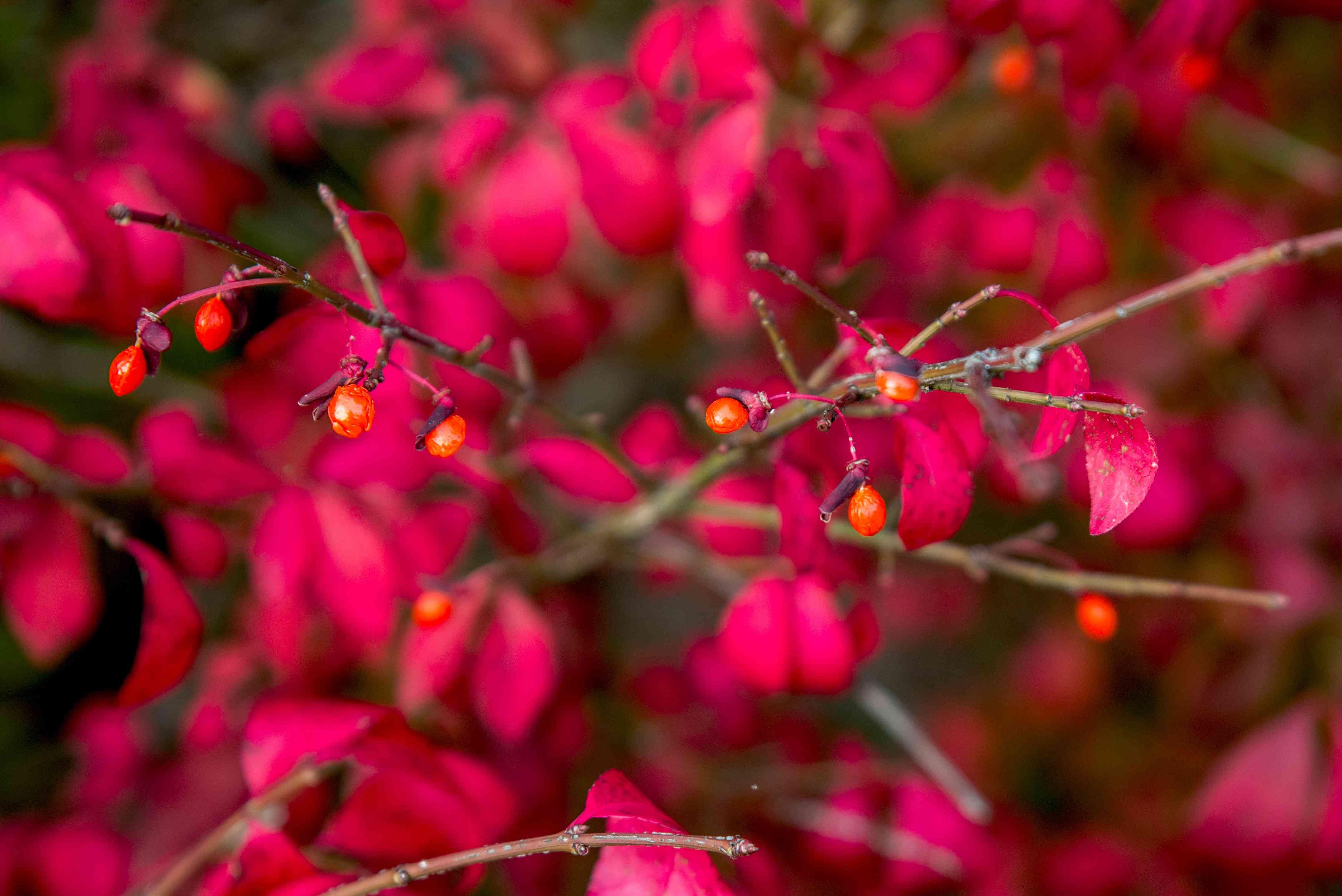 berries on a burning bush