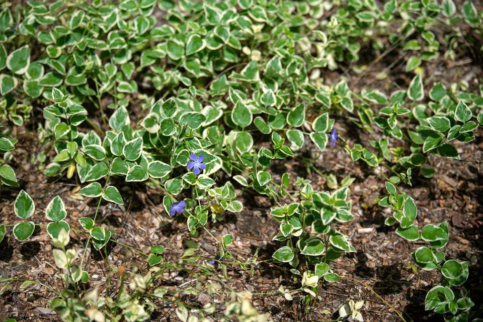 Bigleaf periwinkle ground cover with small green leaves with white edges and small purple flowers