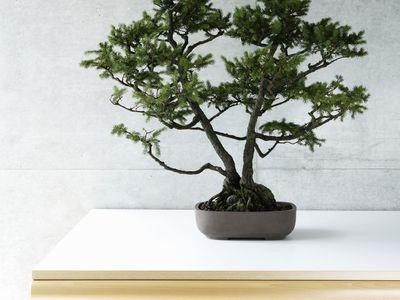 Are Bonsai Tree Plants Bad Feng Shui