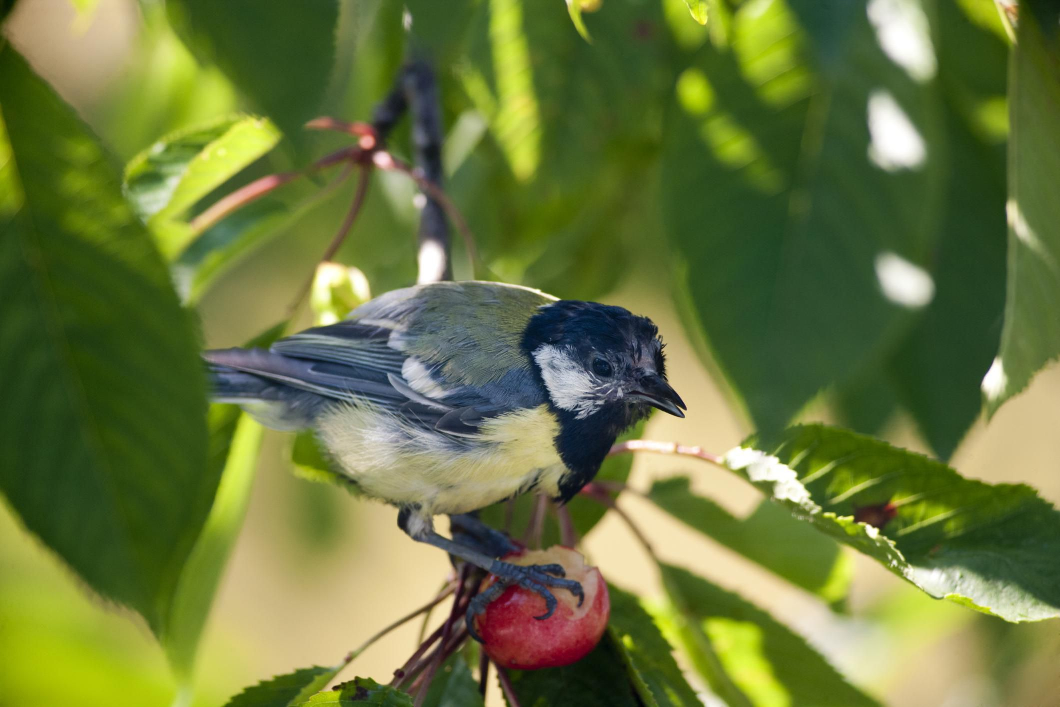 Preventing Birds From Eating Your Fruits and Berries