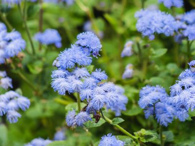 Blue ageratum with blue flowers and bees