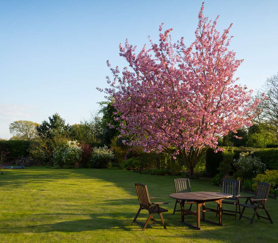 Cherry blossom tree with table and chairs beneath it