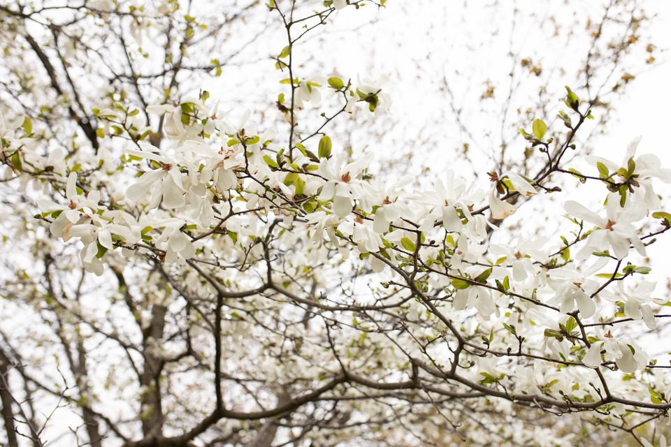 Magnolia tree with white flowers on bare branches