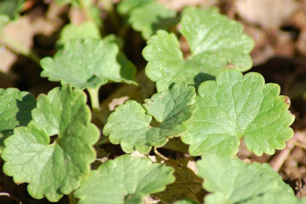 Creeping Charlie is a weed or herb with scalloped edges on its leaves.