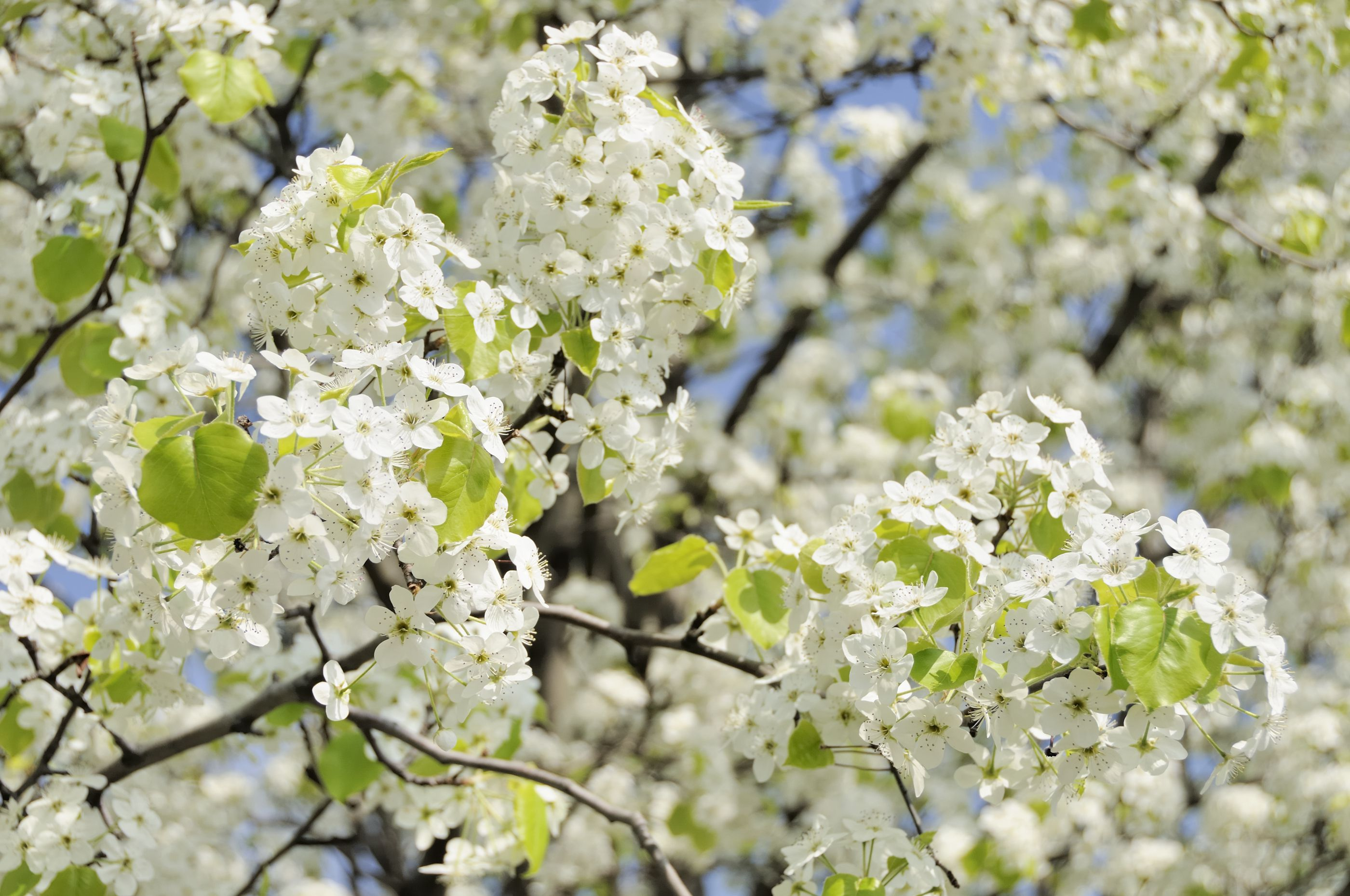 Caring For Bradford Pear Trees