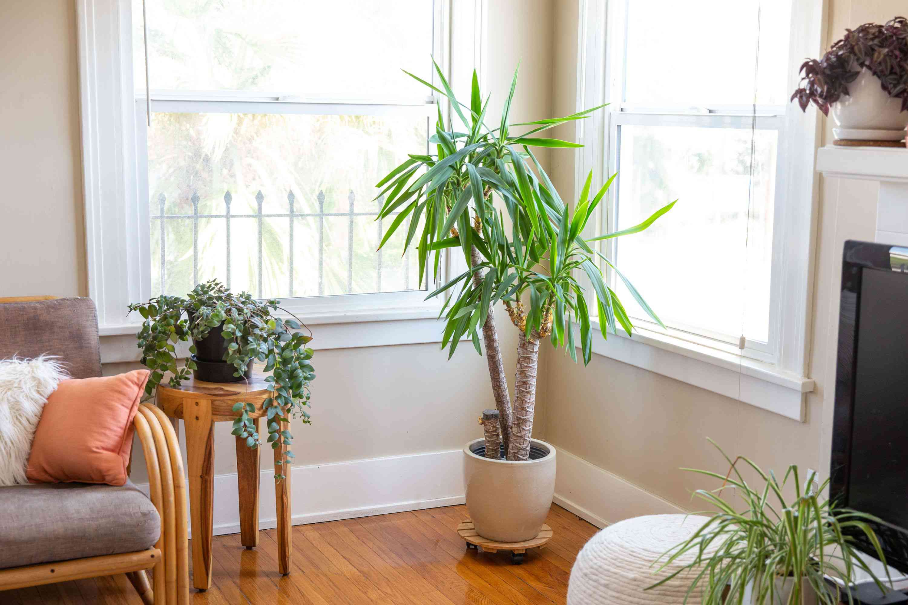 Yucca palm with sharp leaves in corner of living room