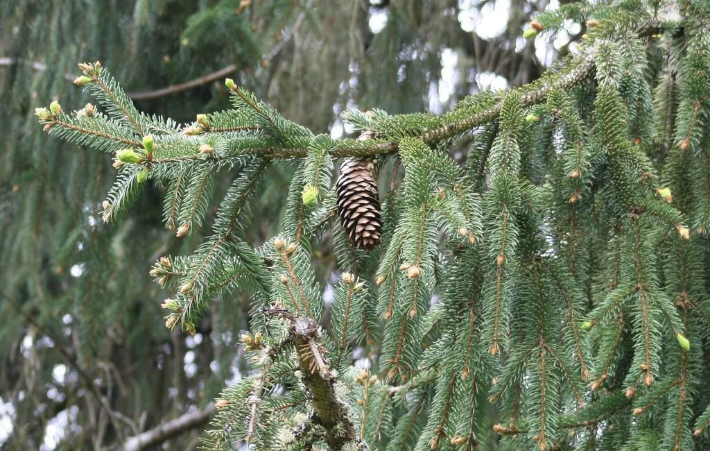 La picea Sitka es reclamada por Alaska como su árbol estatal