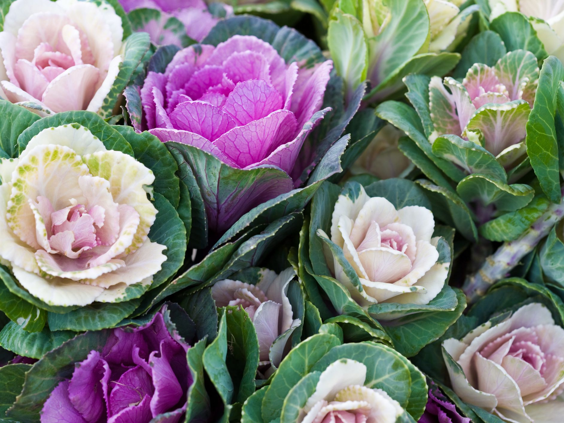 How to Grow and Care for Ornamental Cabbage