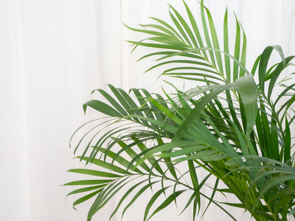 an areca palm growing indoors