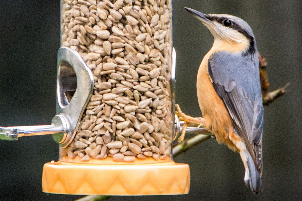 Nuthatch Eating Hulled Sunflower Seed