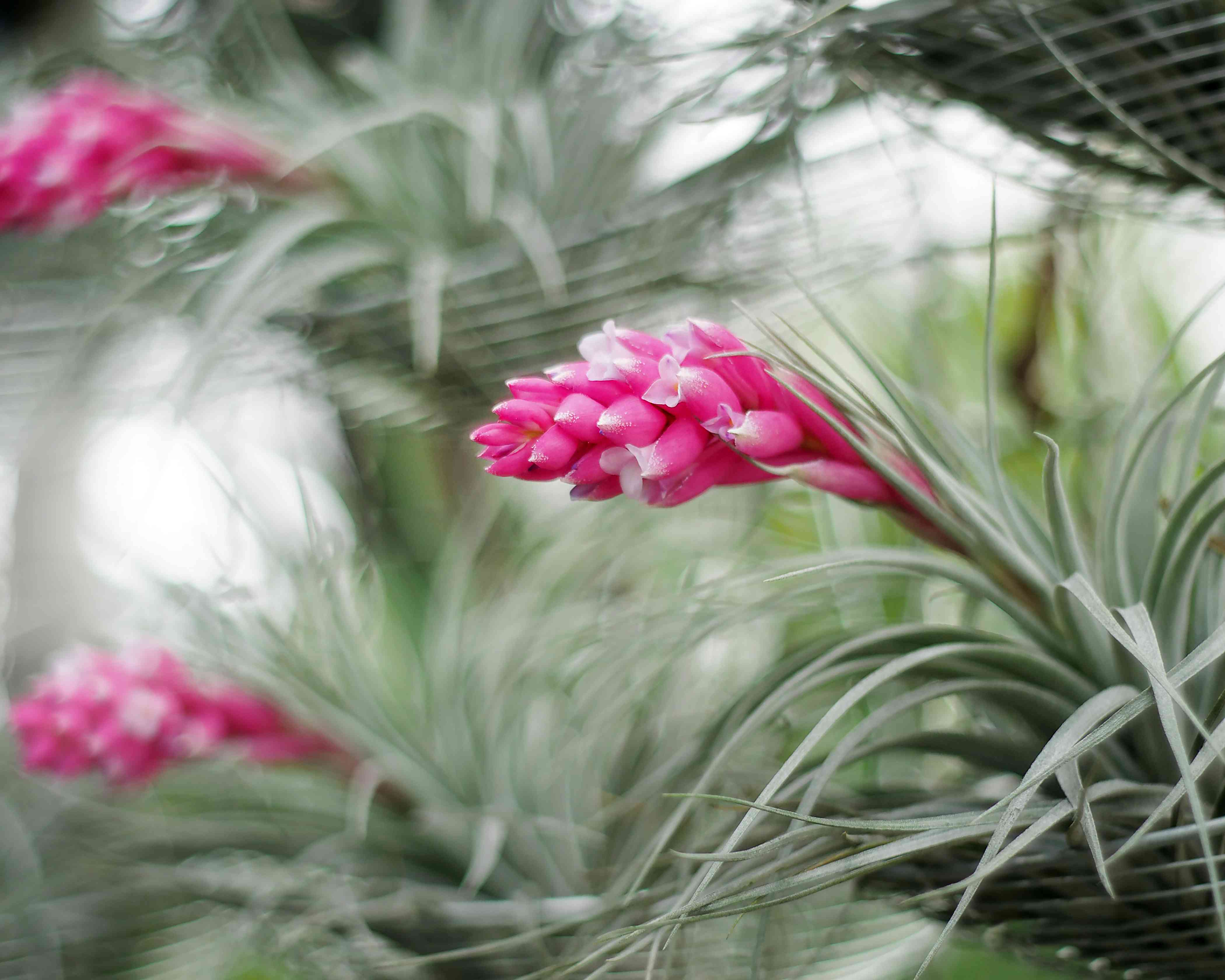 'Cotton Candy' air plant with silvery green leaves and bright pink blooms