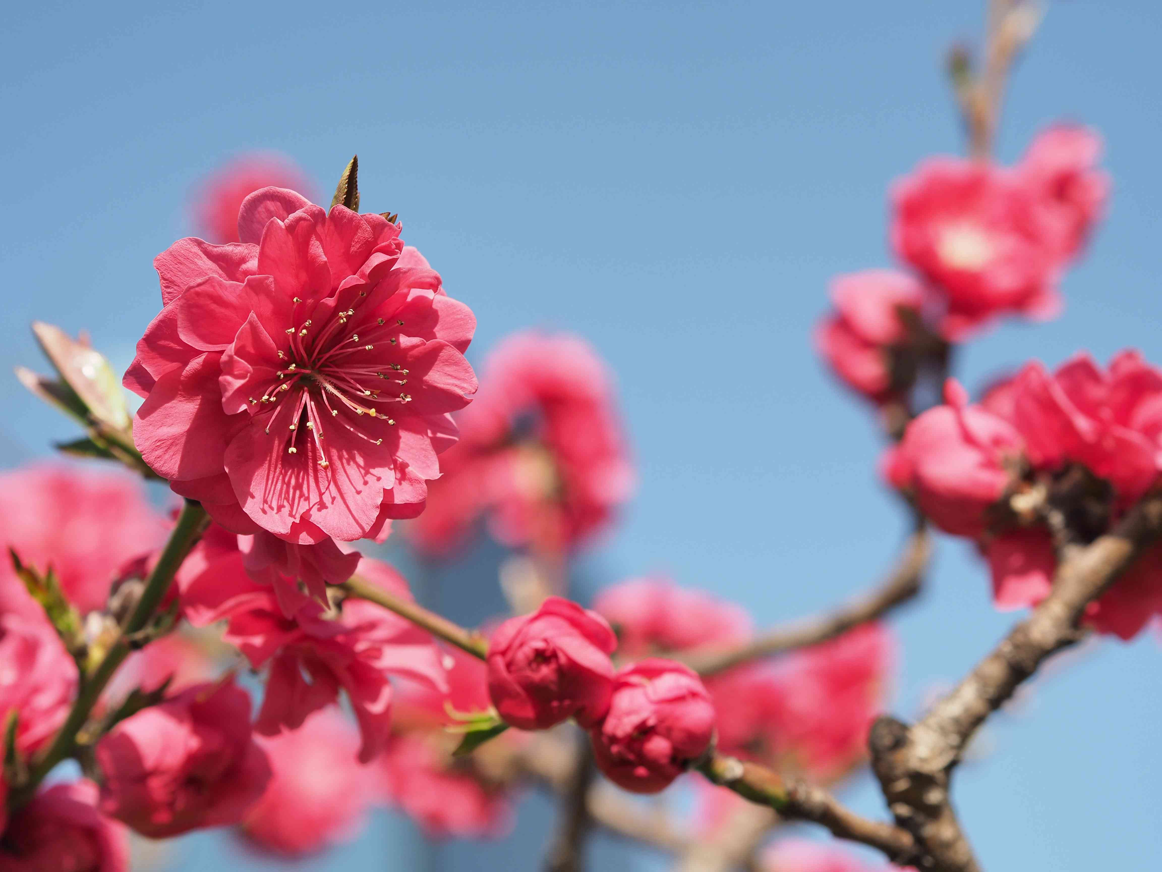 Plum blossoms blooming cleanly