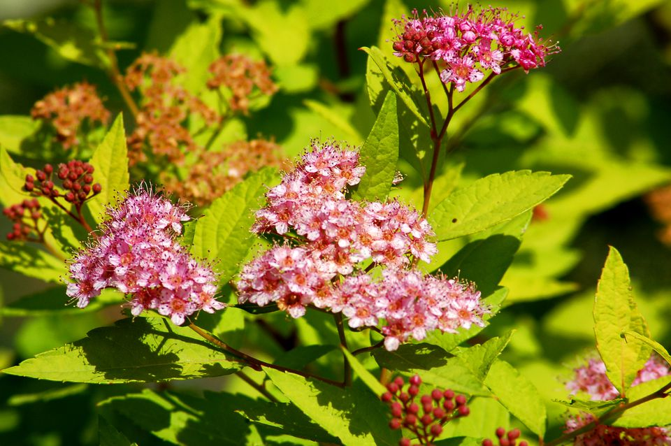 Goldmound spirea flowers (picture) are a nice addition to the leaves. The latter are nice in fall.