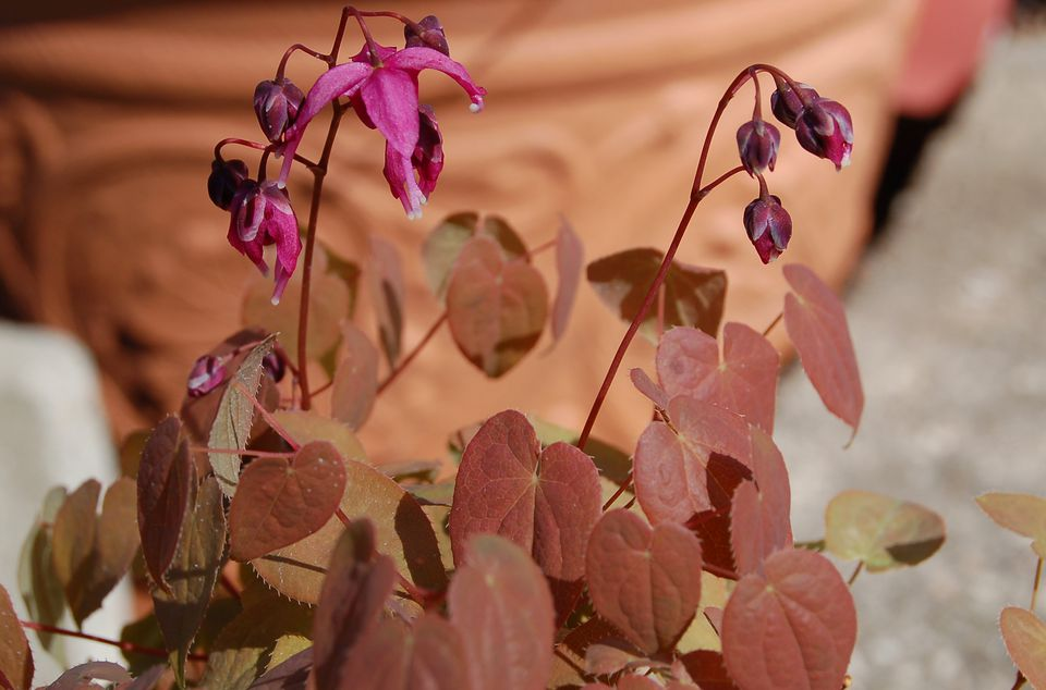 Rose Queen Epimedium