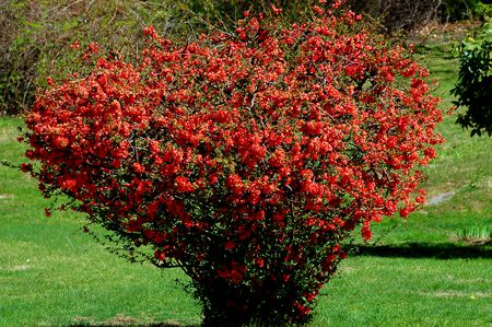 Pictures Of Quince Bush