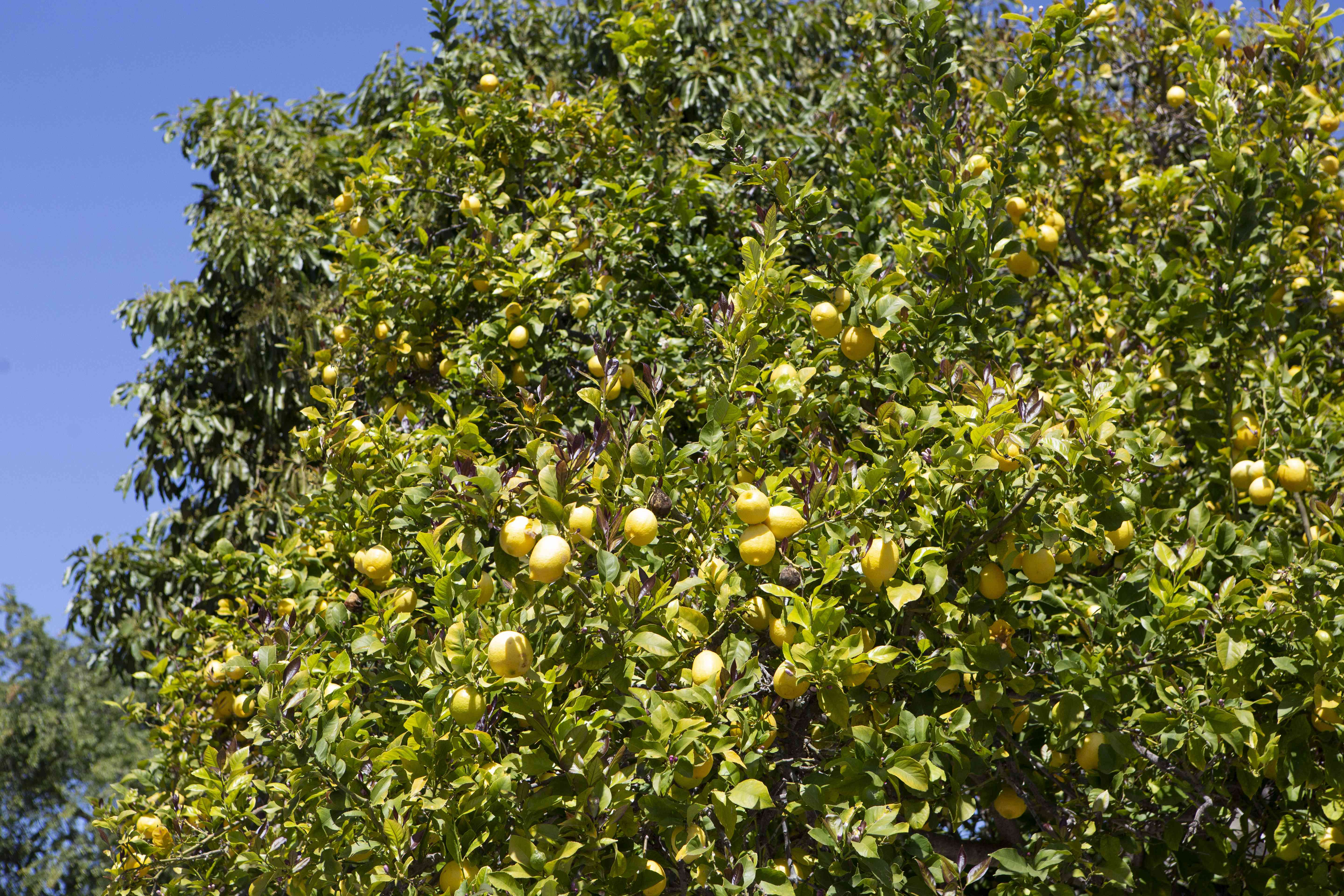Lisbon lemon tree with yellow lemons hanging off branches in sunlight