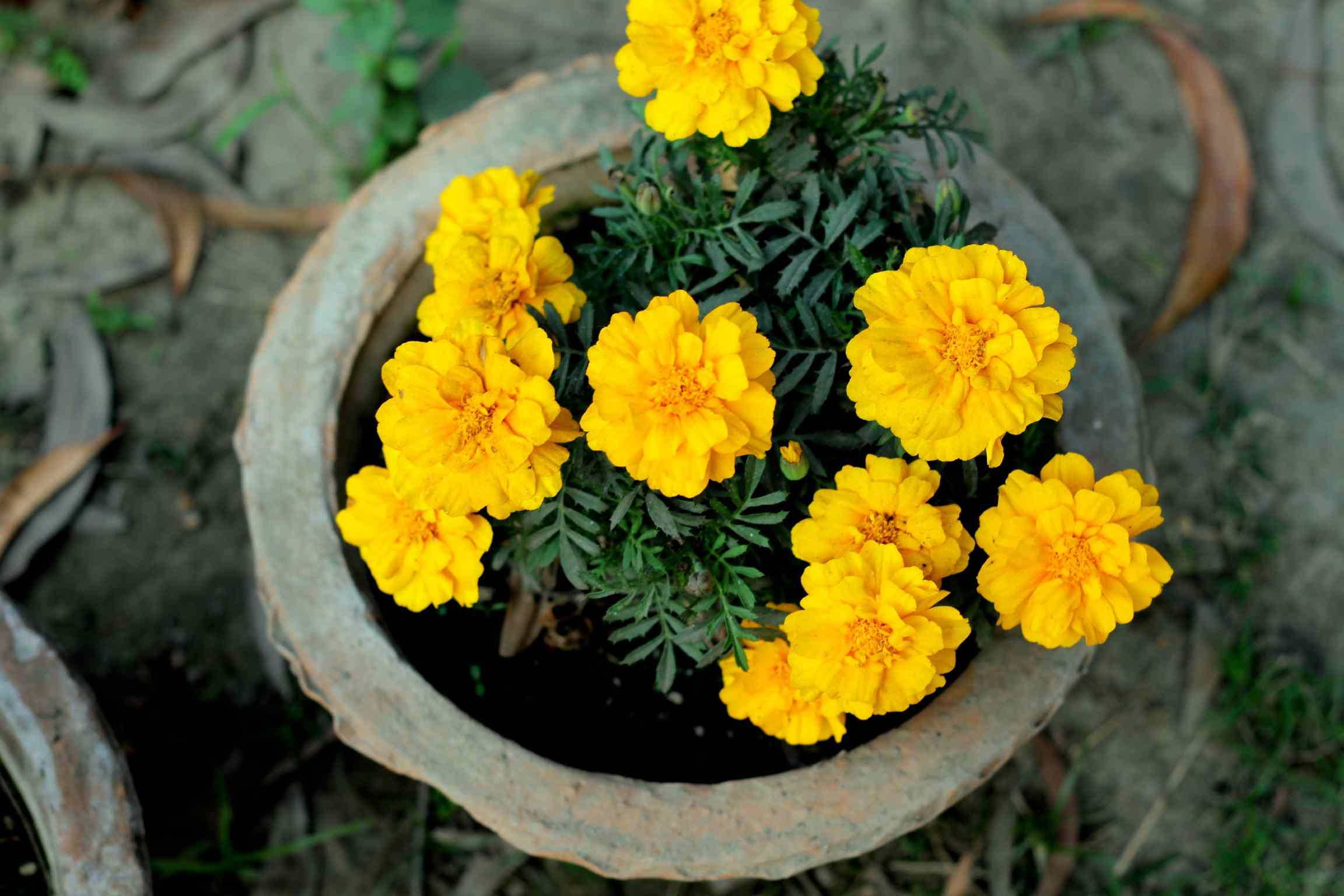 Yellow marigolds in container.