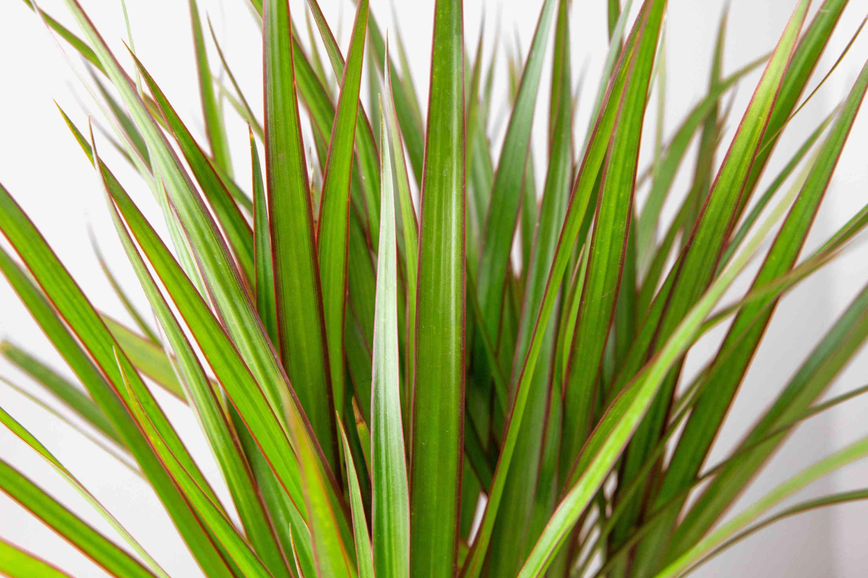 closeup of dracaena marginata leaves